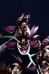 CEJ_2014-4566_3_AOSJud_20140727_IMG_0045_CEJ_W.jpg (celainej) Tags: brown white plant orchid green texture yellow burgundy gloria karen spots catasetum waxy armstrong aos betancourt 20144566