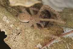 Lunch! (zosterops) Tags: macro australia tasmania hobart ringflash arachnida kenkoextensiontubes sparassidae knockloftyreserve canonmr14ex canonmacrolensef100mm canoneos550d