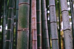 * (doistrakh) Tags: travel japan kyoto asia dof bokeh sony bamboo digitalcamera fullframe a7 voigtlnder alpha7 milc lensadapterring summicronm50mmf2 leitzwetzlar mirrorlessinterchangeablelenscamera vscocam ilce7