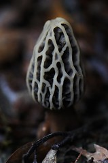 Morchella sp. (Javier Acevedoo) Tags: mxico mushrooms hidalgo pachuca mxico