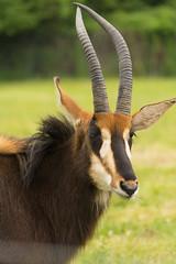Sable Antelope (Cissa Rego) Tags: bird nature animals zoo meerkat wildlife ostrich leopard lemur owl marwell tapir capybara wildanimals marwellzoo fossa zoologicalpark