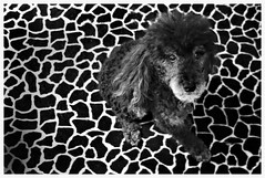 26/52 Remake of last years 52WFD Negative Space Challenge (Bella Lisa) Tags: poodles dogs negativespace remake wah ribbet miniaturepoodles werehere 52weeksfordogs hereios
