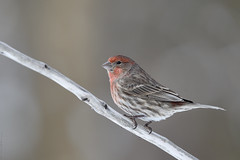 Roselin familier ♂ House finch (2017-02-19) (Sylvain Prince) Tags: haemorhousmexicanus