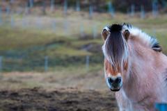 Cheval de Przewalski (jmmuggianu) Tags: tromsø norway norge norvège troms winter hiver neige snow snø kvaløya przewalski cheval