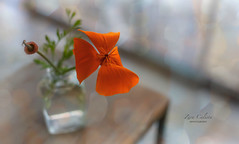 California Poppy (z_a_r_a___c_a_l_i_s_t_a) Tags: eschscholzia maritima poppy california wild still life bokeh light orange green pastel soft dreamy nikon d750 f14 50mm sigma