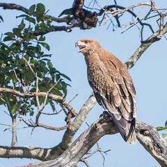 Tawny Eagle (Tris Enticknap) Tags: africa tawnyeagle kenya nikond750 maranorthconservancy nikkor80400mmafslens aquilarapax