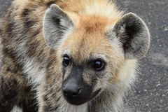 Young Spotted Hyena (Aneesha Lewis) Tags: hyena spotted spottedhyena krugernationalpark kruger southafrica africa safari gamedrive wild wildlife animal young cub nature