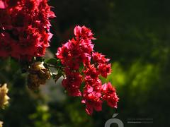 DSCF1018.jpg (José Luis Marrero Medina) Tags: laspalmasdegrancanaria naturaleza spain miradordemonteluz planta amanecer laspalmas sunrise vegetación flor grancanaria canaryislands españa islascanarias
