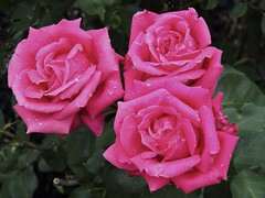 Triple terrific (MissyPenny) Tags: pink roses garden seniorprom seniorpromrose bristolpennsylvania pdlaich