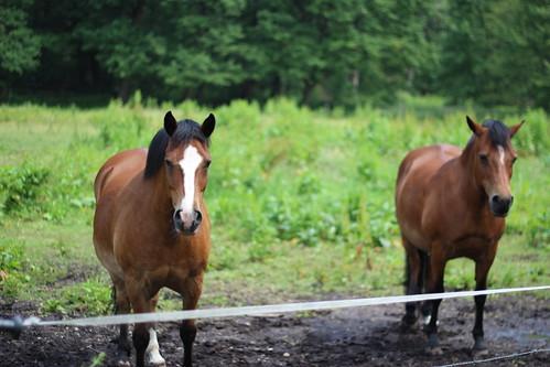 horses nature animals landscape thenetherlands urbanwoods sittard canon600d