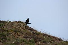 IMG_0881 (armadil) Tags: biketrail devilsslide raven ravens bird birds flying bike062014