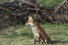 Mother Fox (Seventh day photography.ca) Tags: ontario canada spring wildlife mother fox wildanimal vixen redfox 2014