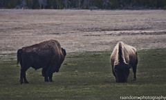 2bison (onelungbreathin) Tags: bear park bw mountains hot nature clouds reflections river outside lava waterfall montana open sheep eagle air bears go bald grand moose panoramic national mammoth springs pro yellowstone hd wyoming bighorn horn magpie fighting sulfur tetons bison cps willows pathway buffaloe pronghorn expanse wlf celestinepool madisonjunction sulfurpit