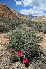 Red Rock Canyon Cactus Bloom (scun11) Tags: redrockcanyon statepark park flowers red cactus sky plants sun plant mountains southwest color nature rock clouds canon landscape spring desert nevada sunny canyon nv bloom redrock
