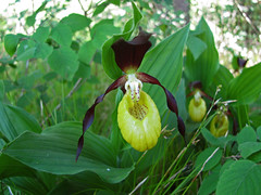 Cypripedium calceolus (aniko e) Tags: orchid yellow forest purple diversity orchidaceae ladysslipper cypripedium gelberfrauenschuh boldogasszonypapucsa cypripediumcalcaolus