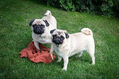 the happy destroyers (TheOtherPerspective78) Tags: dog playing game cute grass canon happy play sweet meadow wiese pug hund playtime pugs spiel handtuch spielen mops carlino pugdog mpse corpusdelicti eosm mopse theotherperspective78 efm1855