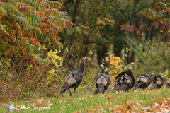 Wild turkeys on Lake Dalrymple Road