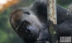 IMGP2674 (mikemcnary) Tags: animal kentucky louisville captive louisvillezoo