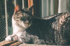 cats (Andrey Germano) Tags: cats cat gatos smeagol