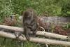 Macaques japonais (Etienne Baz-Laberge) Tags: zoo singe macaque macaquejaponais zoosauvagedesaintfélicien