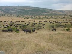 Honeymoon Trip - Masai Mara  (August 2013) (irlLordy) Tags: trip holiday honeymoon kenya august safari waterbuffalo masaimara 2013