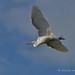 White Heron - Kotuku