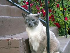 (SofiDofi) Tags: usa beautiful oregon stairs cat portland outdoors furry feline walk unique may posing siamese neighborhood friendly nobhill blueeyed niceevening spring2014 proudpuss