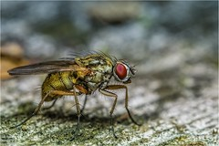 A fly (just_me78) Tags: macro nature animals closeup tiere fly natur makro insekt fliege gx7