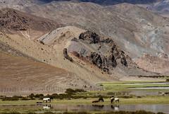 Equus. (Prabhu B Doss) Tags: travel wild horses india lake reflection countryside stallions leh ladakh hundar diskit prabhubdoss