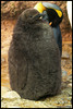 King penguin (Aptenodytes patagonicus) (Xavi BF) Tags: zoo penguin king olympus aves basel rey xavier zolli reial pingüino zoobasel kingpenguin aptenodytespatagonicus olympuse500 bayod pingüí königspinguin koenigspinguin aptenodytes patagonicus sphenisciformes spheniscidae farré pingüinorey xavierbayod xavierbayodfarré pingüíreial