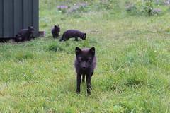 Arctic fox in Hornvik, Hornstrandir Nature Reserve (Westfjords)