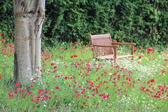 In Flanders fields the poppies blow (Gus_Gregory) Tags: blow poppies fields ww1 remembrance flanders in ivybridge