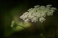 Green umbrella (mamietherese1) Tags: textures memoriesbook sublimeflowershot cedruseternum itsallaboutflowers