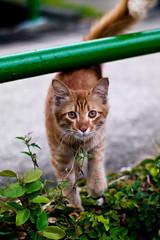 Adorable Stray Cat (Rickloh) Tags: streets cute cat singapore bokeh young rick samsung stray meow curious sg nx streetcats furballs nx30 samsungnx beyondbokeh sgcats rickloh nxsg sgcat