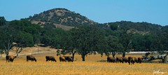 Late Summer Pasture (Dismal_Science) Tags: california ranch mountains cattle cows pentax grazing lowland k30 da55300mm lakesherwoodcalifornia