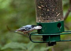 Nuthatch (3) (tommaync) Tags: blue white black tree bird nature leaves animal nc nikon wildlife seed northcarolina feeder august perch nuthatch sunflowerseed 2014 chathamcounty d40