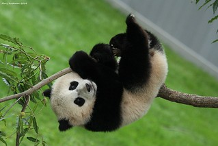 Bao Bao in the Bough