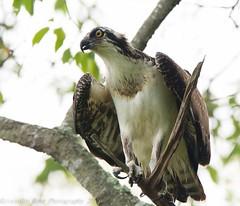 Osprey 9_6 6 (krisinct- Thanks for 7.5 Million views!) Tags: nikon 150 600 tamron osprey d7100