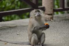 Donuts Lover (MOHAMED TAZI) Tags: animal animals monkey nikon donuts animaux animalkingdomelite