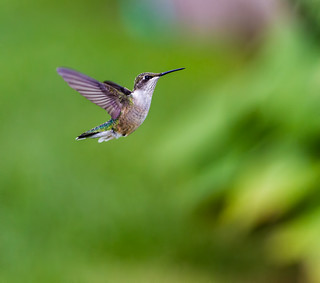 Hummingbird (Explored)