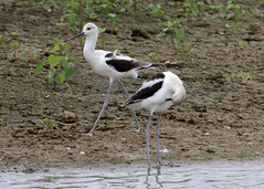 American Avocets by Steve Gifford (Steve Gifford - IN) Tags: county nature birds cane river photo wildlife steve picture indiana ridge management national photograph american area steven society gibson refuge audubon gifford nwr avocet ias haubstadt patoka