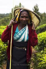 (Lucille Kanzawa) Tags: srilanka teaplantation ch tealeaves nuwaraeliya teapicker teabasket folhasdech pedroteaestate plantaodech singhalesewoman catadoradech apanhadoradech mulhercingalesa cestodech