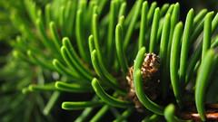 ever (uncoolbob) Tags: light macro leaves pine digital eveningsun 169 sooc canonpowershotsx110is