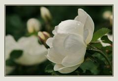 White Rose (Sergei P. Zubkov) Tags: white flower june rose suomi finland kerimäki 2011