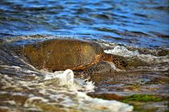 IMG_5046 (aaron_boost) Tags: hawaii oahu turtle northshore honu honolulu haleiwa aaronboost
