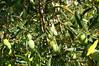 Olives en attente de la cueillette