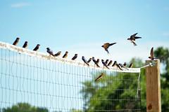 23 swallows (heartinhawaii) Tags: birds swallows inflight perched volleyballnet adamscountyregionalpark swallowsinflight swallowbirds 23birds nature park nikond3100 colorado flickrlicensing