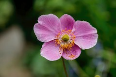 O, Solo Mio! (brev99) Tags: flower bokeh crossestate topazdetail sigma1770os