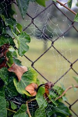 Ivy pearls 2 (Helene Iracane) Tags: morning france green nature water leaves fence 50mm spider droplets wire nikon eau bokeh web foggy ivy vert pearls cobweb brouillard feuilles araigne lierre grillage toile poitiers matin gouttes perles gouttelettes d3100