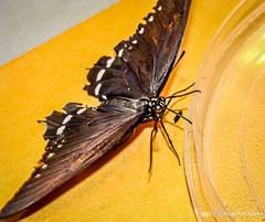 Butterfly drinking sugar water (The Bearded Spider) Tags: arizona festival insect spiders sony insects dsch3